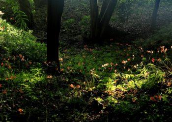 雑木林のキツネノカミソリ群落健在(薬師台)