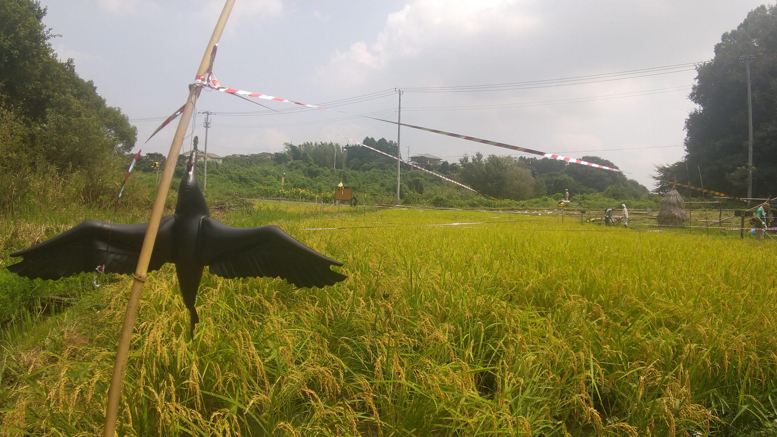 稲刈りの準備(立沢里山)