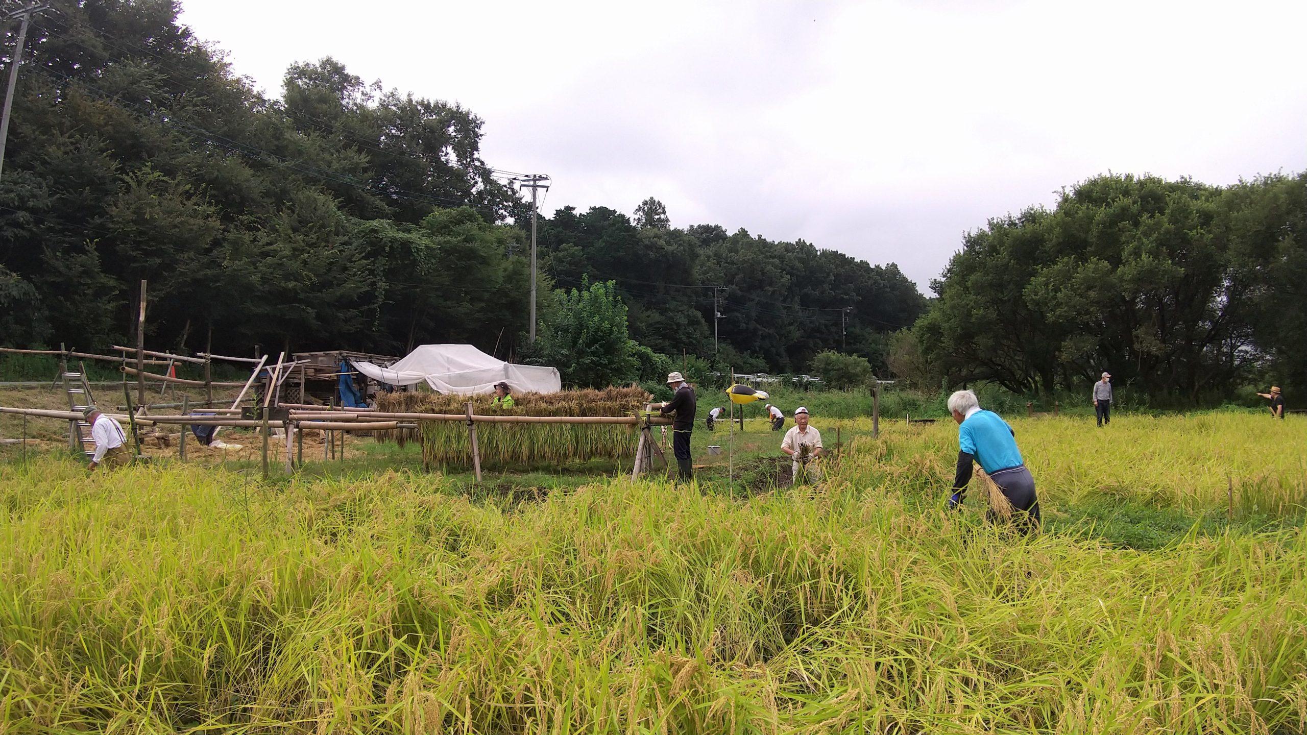 立沢里山の稲刈り(立沢)