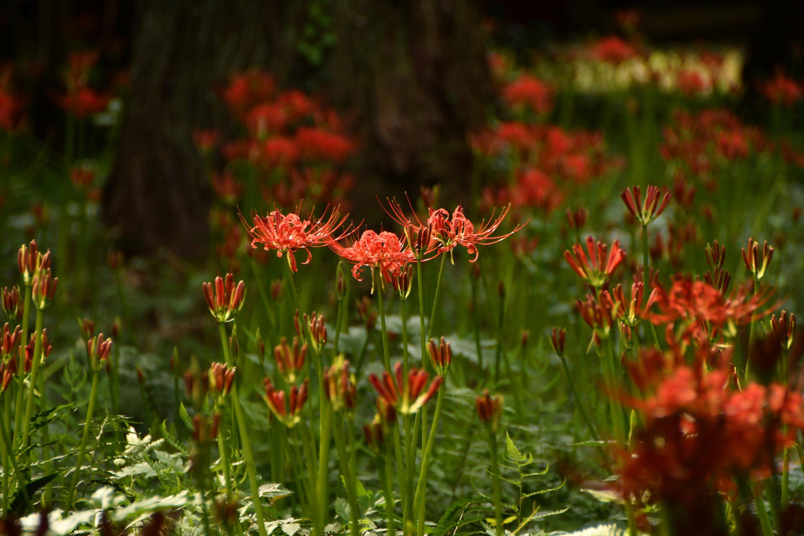 弘経寺(常総市)のヒガンバナも咲きました