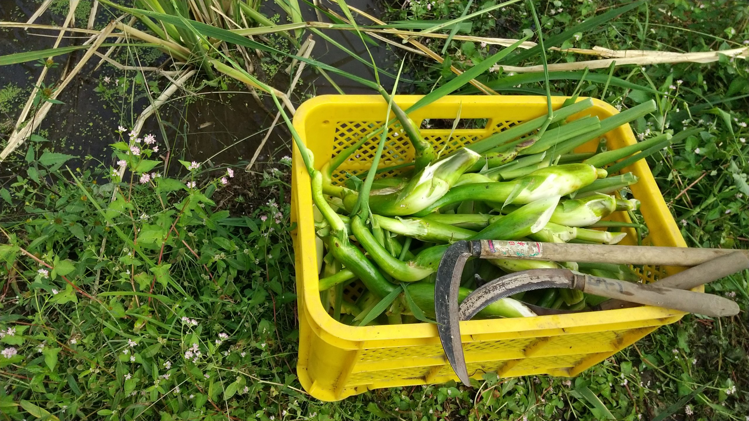 マコモタケの収穫 (立沢里山)